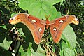 Attacus atlas - Atlas moth - at Peravoor (9).jpg