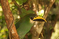 Aulacorhynchus prasinus -Belize Zoo -upper body-8a