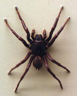 <i>Hadronyche infensa</i> Species of spider