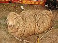 Australian sheep-2-praba sheep-salem-India.jpg