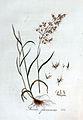 Avena flavescens — Flora Batava — Volume v3.jpg