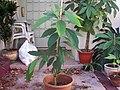 Avocado tree in Autumn.JPG