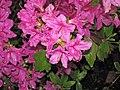 Azaleas (Dover, Ohio, USA) 2 (26573362473).jpg