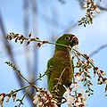 Aztec Parakeet (Aratinga astec) -Guatemala-8-2c.jpg