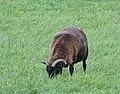 Baba black sheep, Bowerchalke - geograph.org.uk - 1014697.jpg