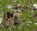Baby Great Horned Owl (14899976489).jpg