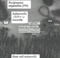 Bacterial outer membrane vesicles (OMVs) from Salmonella in chicken ileum..png