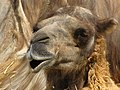 Bactrian Camel 1 (9112310872).jpg