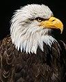 Bald Eagle Portrait (120773677).jpeg