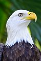 Bald Eagle at Brevard Zoo.jpg