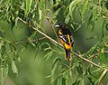 Baltimore Oriole (works) (32611546356).jpg