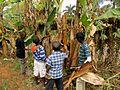 Banana fibre activity.JPG