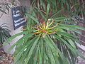 Banksia aquilonia RBG3.jpg