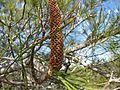 Banksia tricuspis (fower spike).jpg