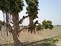 Banyan Tree at Phuladi.jpg
