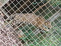 Barcelona-Zoo-Jaguar (Panthera onca) (II).jpg