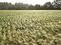 Barley, Stoke Lyne - geograph.org.uk - 866678.jpg