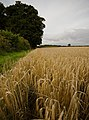 Barley on Lund Moor - geograph.org.uk - 1444867.jpg