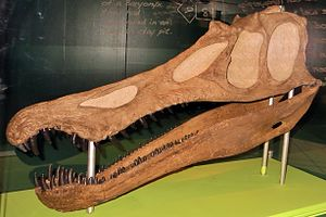 Baryonyx - Reconstruction of the holotype skull, Museon, The Hague