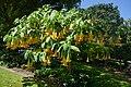 Bason Gardens Brugmansia.jpg