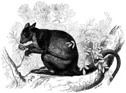 Dendrolague-ours (Dendrolagus ursinus)