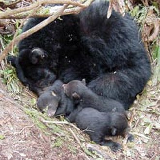 "Hibernation - Black bear mother and cubs ""denning"""