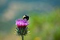 Bee and Thistle.jpg