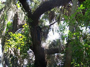 Estero River (Florida) - A beehive hanging from a tree. It is near the two-mile marker from the eastern river point.
