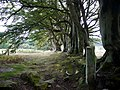 Beech trees on old field boundary, North Wood - geograph.org.uk - 1484574.jpg