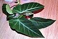Begonia angularis 01.jpg