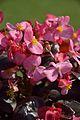 Begonia semperflorens - Alipore - Kolkata 2013-02-10 4787.JPG