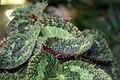 Begonia sizemoreae 1zz.jpg