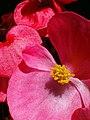 Begonia w sloncu1.JPG