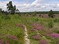 Bell heather and birch scrub, East Ramsdown - geograph.org.uk - 510192.jpg