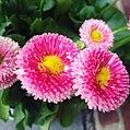 Bellis Perennis Flowers.jpg