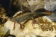 A brown newt with well developed crest under water.