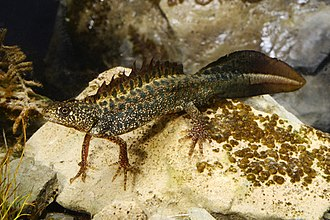 Triturus - Males develop crests on their back and tail, most conspicuous in the crested newts (here Macedonian crested newt).