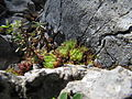 Berghauswurz (Sempervivum montanum) - Wachthüttelkamm.JPG