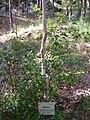 Betula pendula subsp. fontqueri Habitus 2010-7-17 HumedalJardinBotanicoHoyadePedraza.jpg