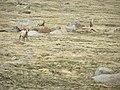 Bighorn Sheep P6040269.jpg