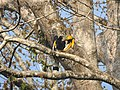 Bird Great Hornbill Buceros bicornis at nest DSCN9018 21.jpg