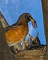 Birds nest robins (17116505713).jpg