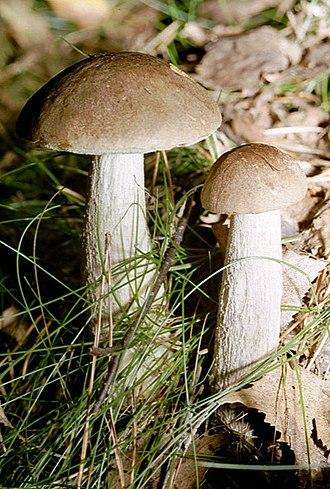 Leccinum scabrum - Image: Birkenpilz 01