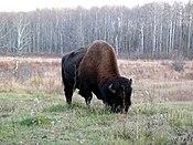Bison Elk Island.jpg
