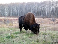 Bison im Elk Island Nationalpark