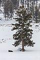Bison Resting under a tree (a9c21851-a528-4c0b-99f0-c5ff151dcfd1).jpg