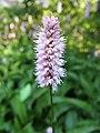 Bistorta officinalis syn. Polygonum bistorta 2019-05-26 02.jpg