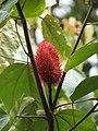 Bixa orellana fruit(1).jpg