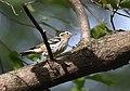 Black-and-white Warbler (31015572238).jpg