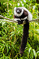 Black-and-white ruffed lemur 02.jpg